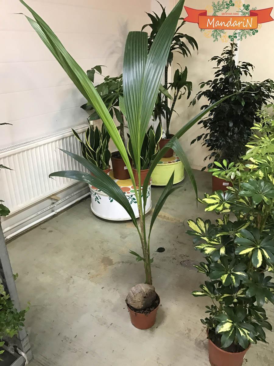 Выращивание пальма в домашних условиях 40
