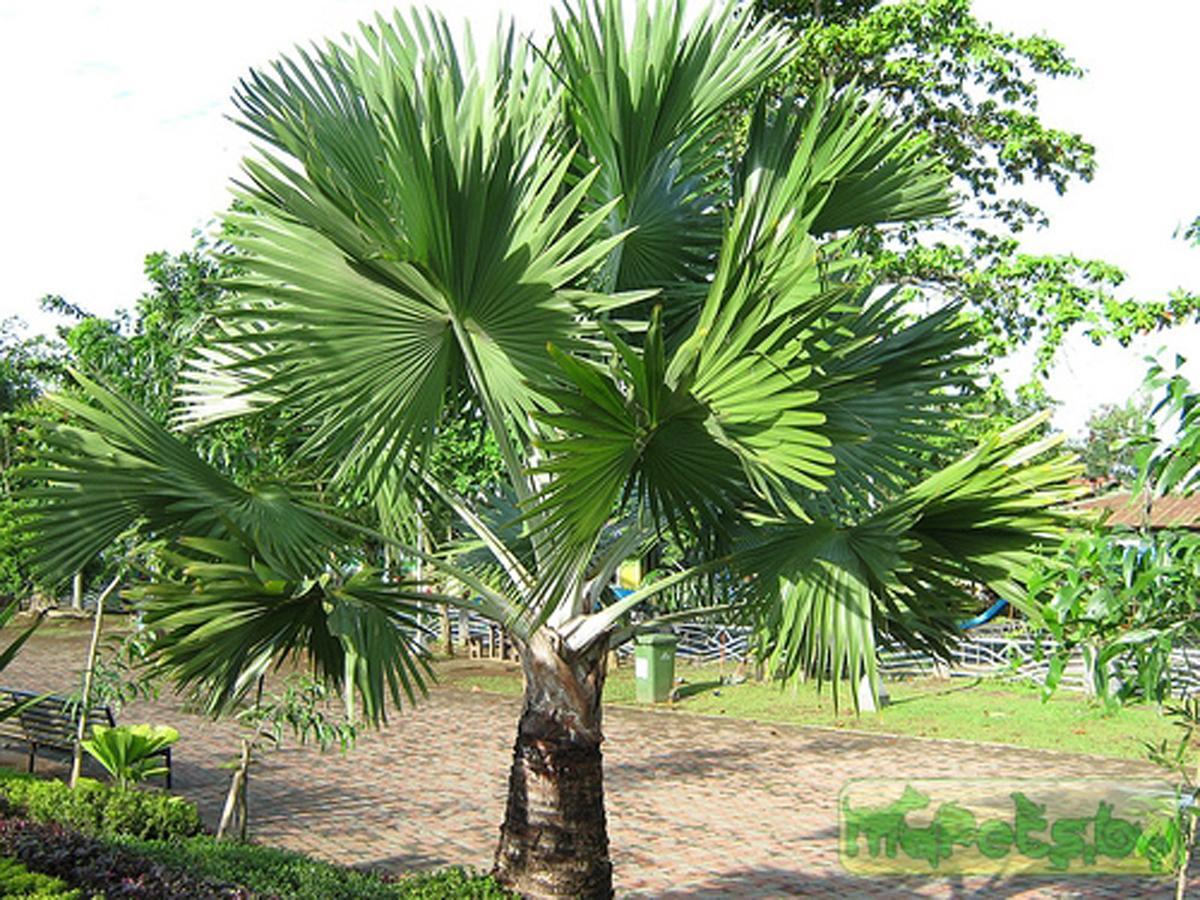 уход за пальмой в домашних условиях сохнут листья