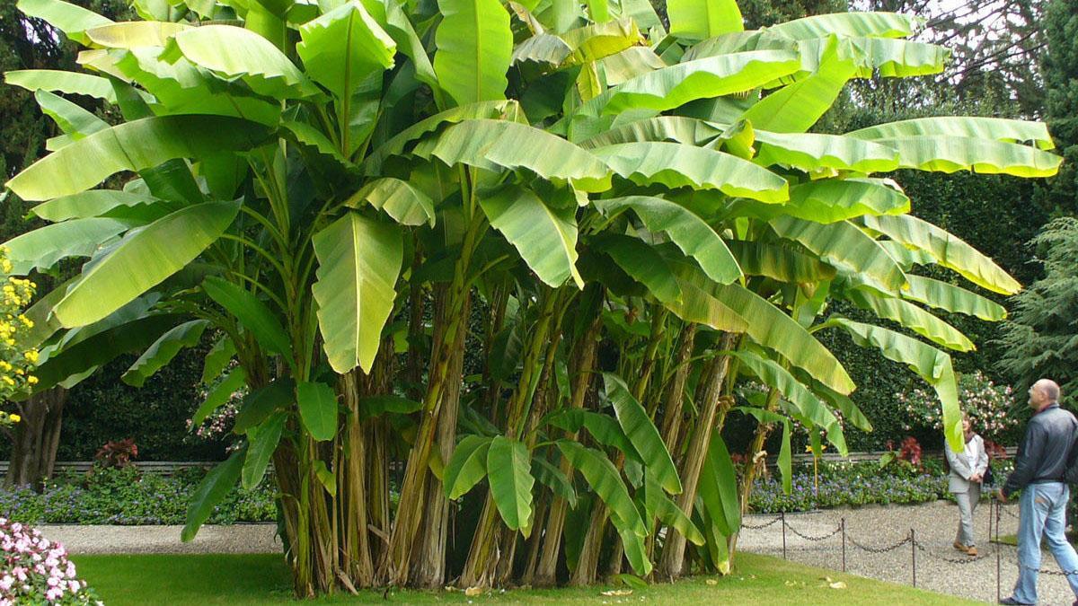 Уход за банановой пальмой