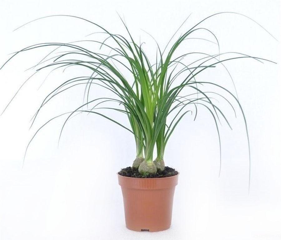 пальма нолина фото