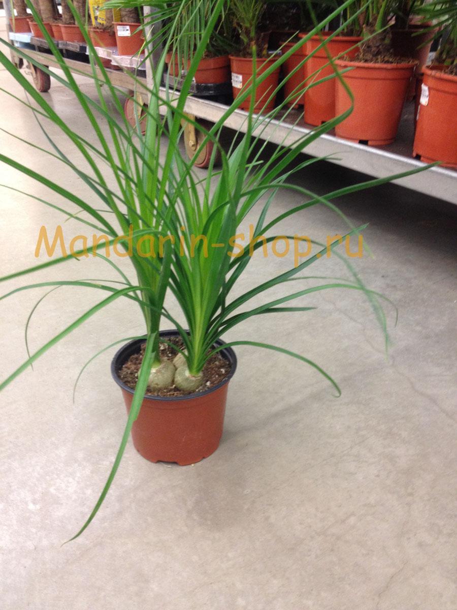 Комнатные цветы луковичные пальмы фото