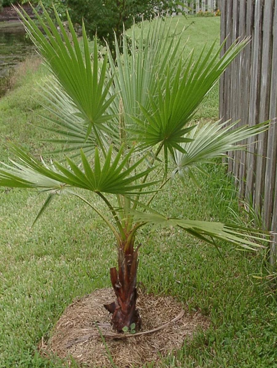 Пальмы в уход в домашних условиях фото пошагово