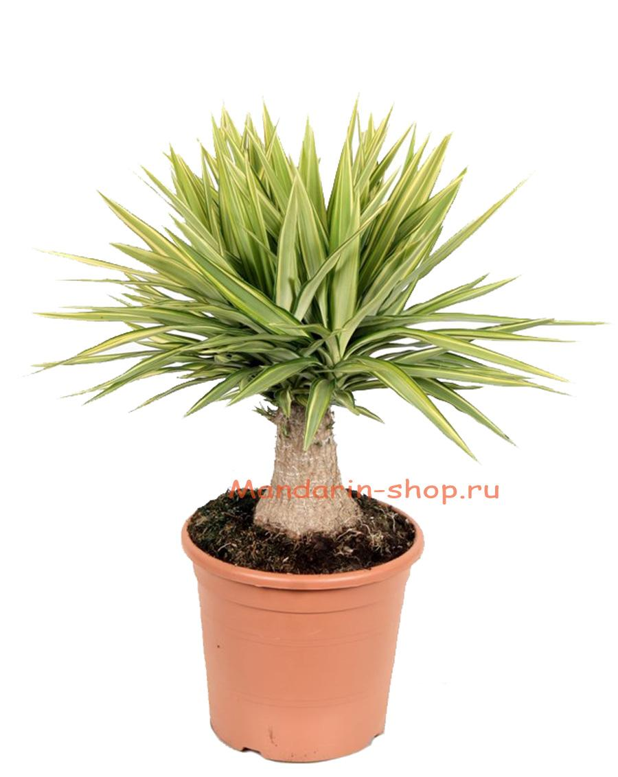 Пальма юкка в домашних условиях уход за ней 750