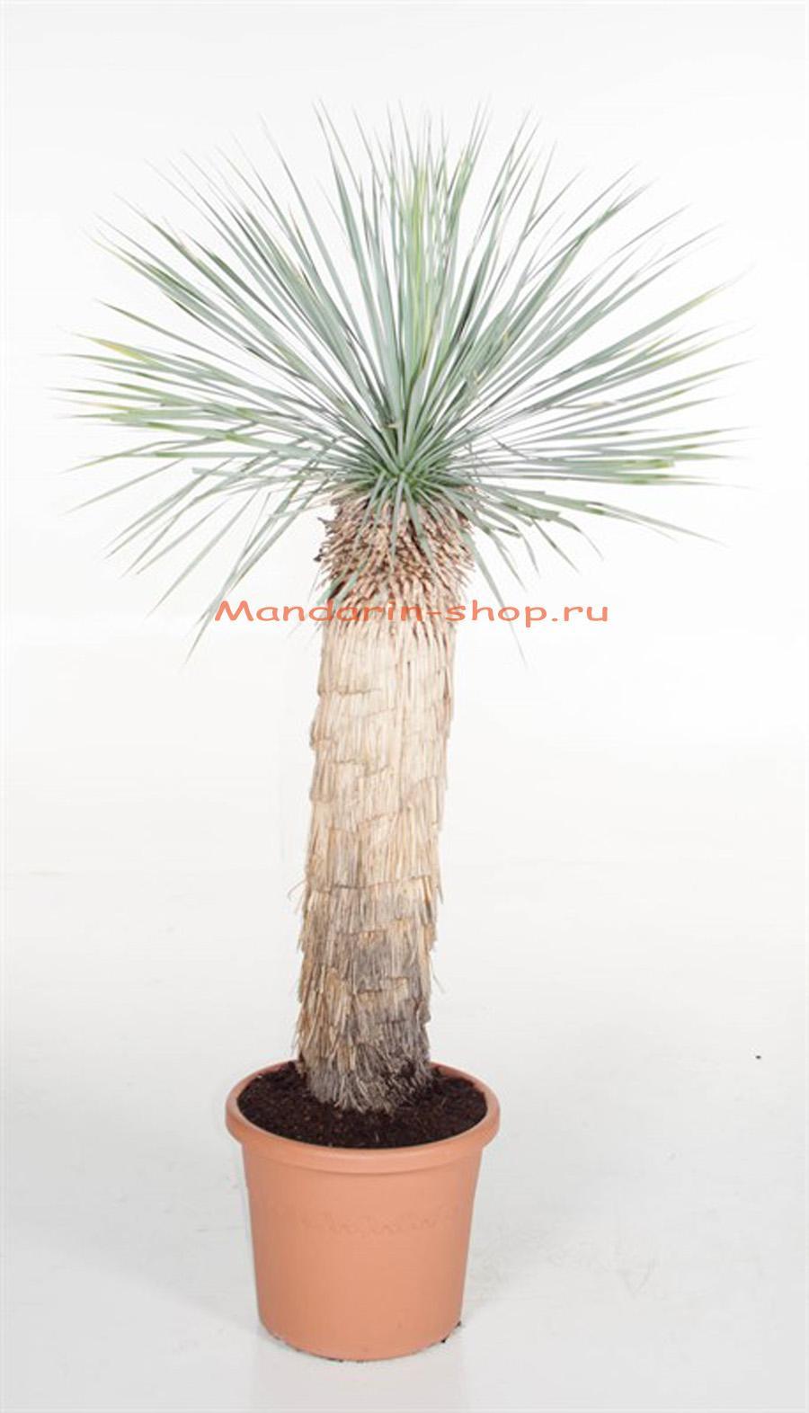 Как правильно ухаживать за пальмой юкка в домашних условиях 89