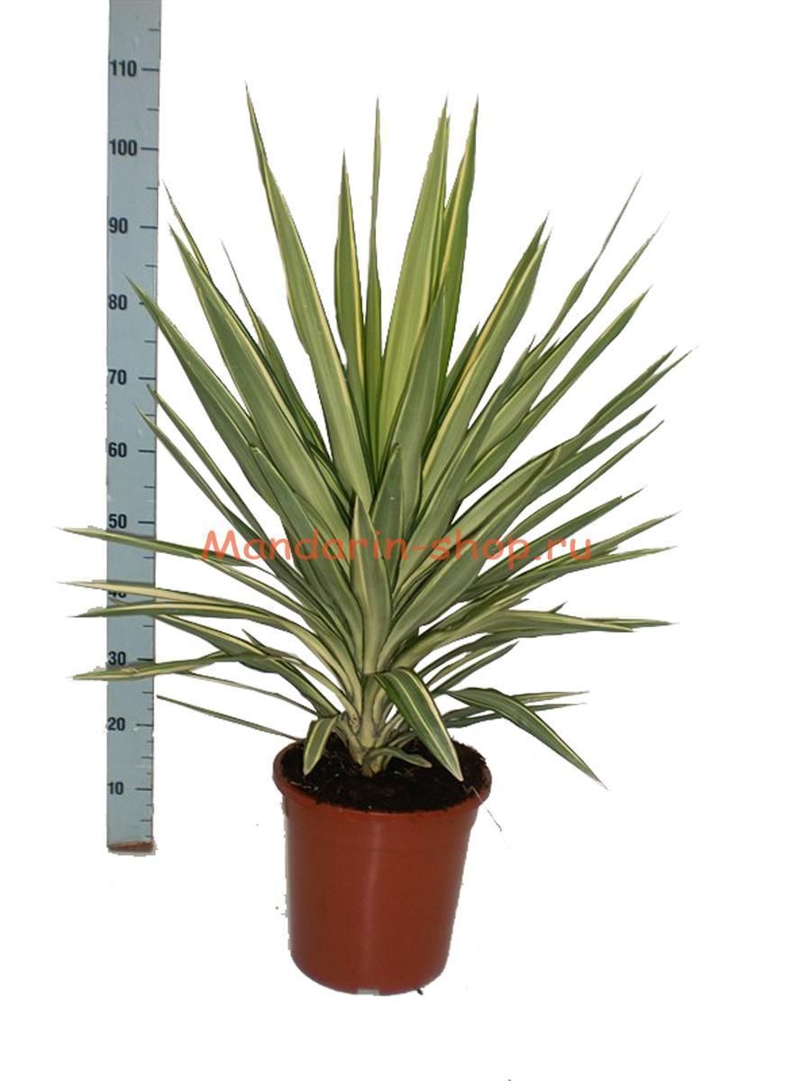 Комнатная пальма юкка уход в домашних условиях фото