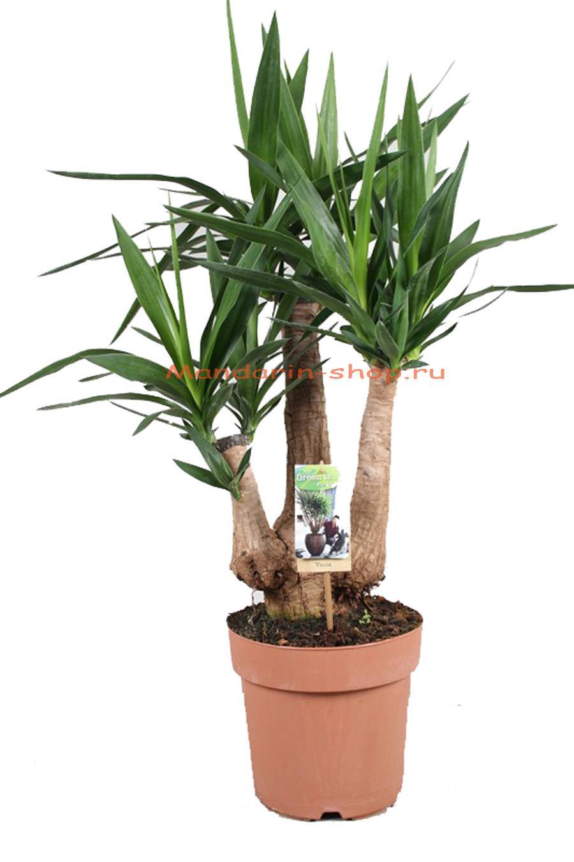 Драцена ложная пальма. Уход в домашних условиях 24