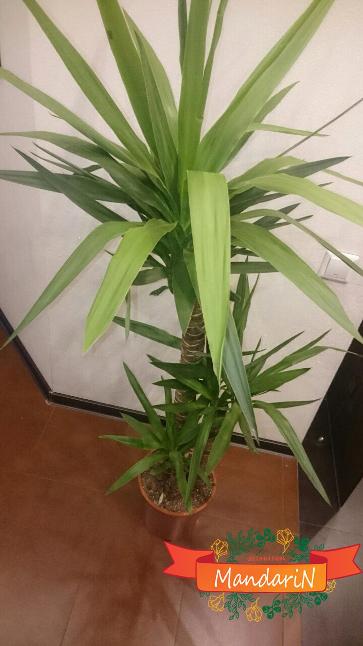 Пальма юкка цветы домашние фото
