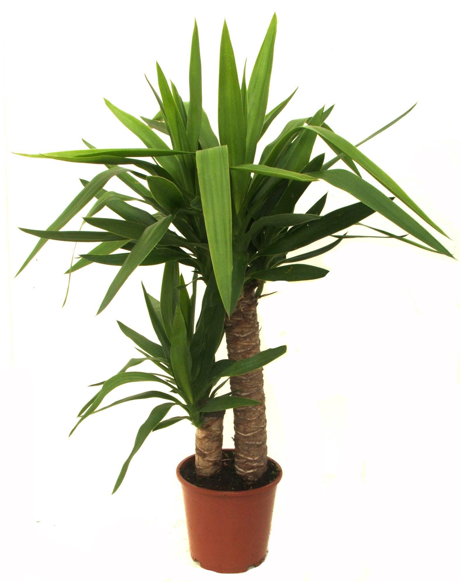 Цветок комнатная пальма уход в домашних условиях