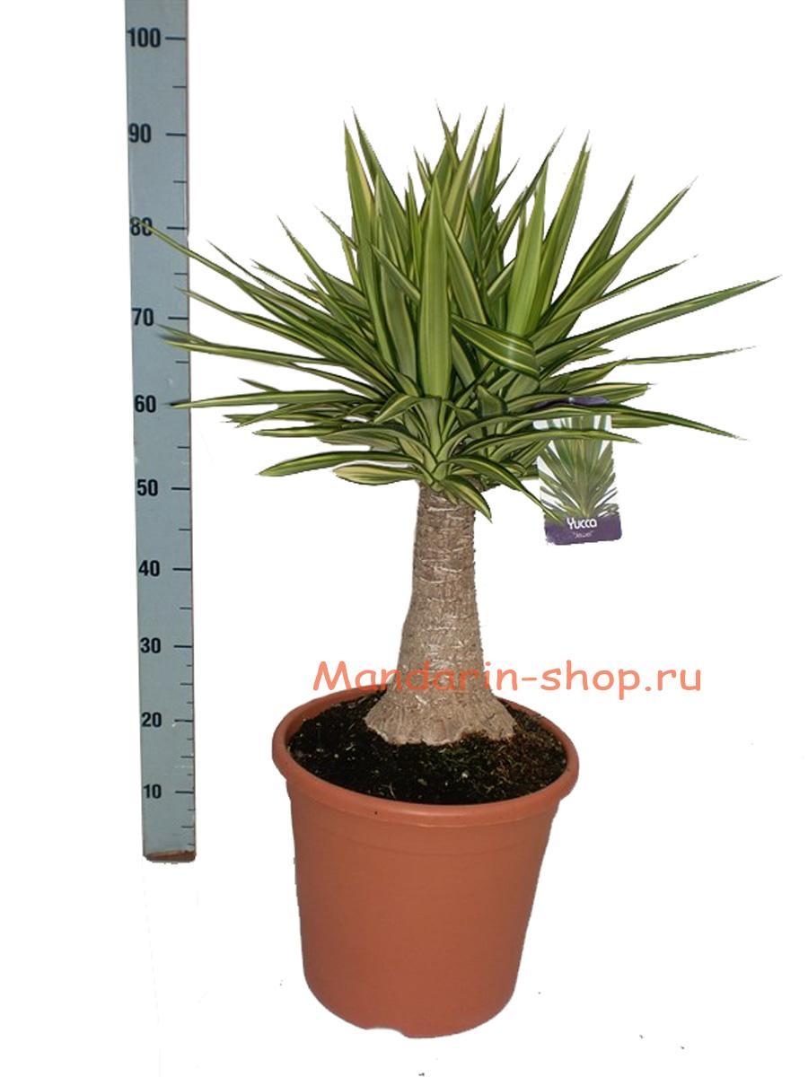 Как правильно ухаживать за пальмой юкка в домашних условиях 45