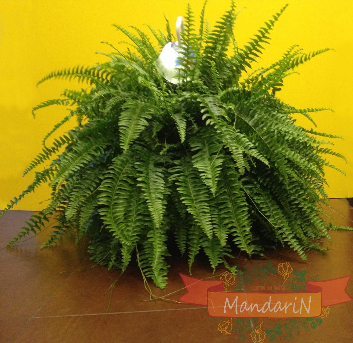 Комнатные растения папоротник уход в домашних условиях фото