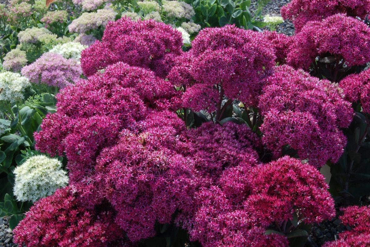Садовый цветок очиток фото