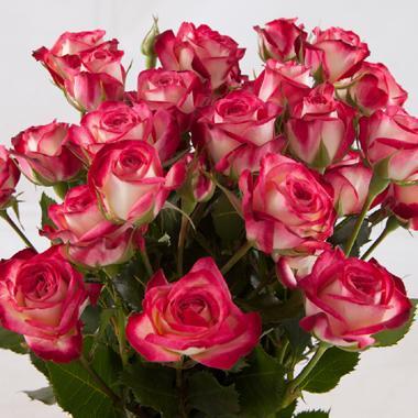 сафина роза фото