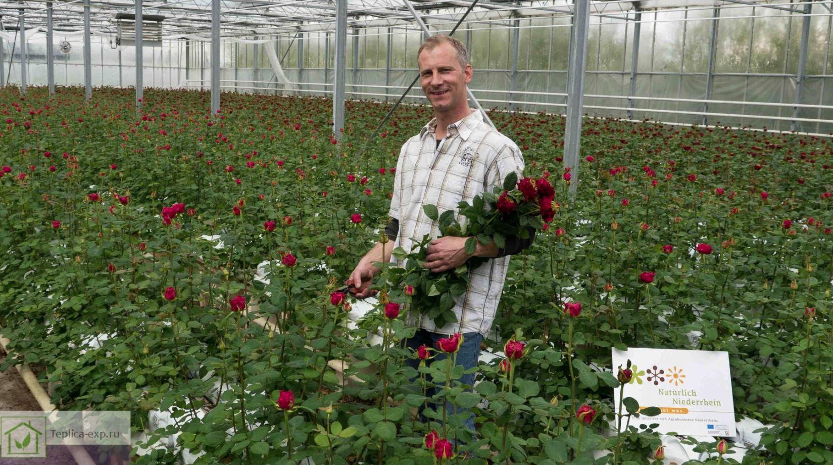 Голландские розы как сажать 40