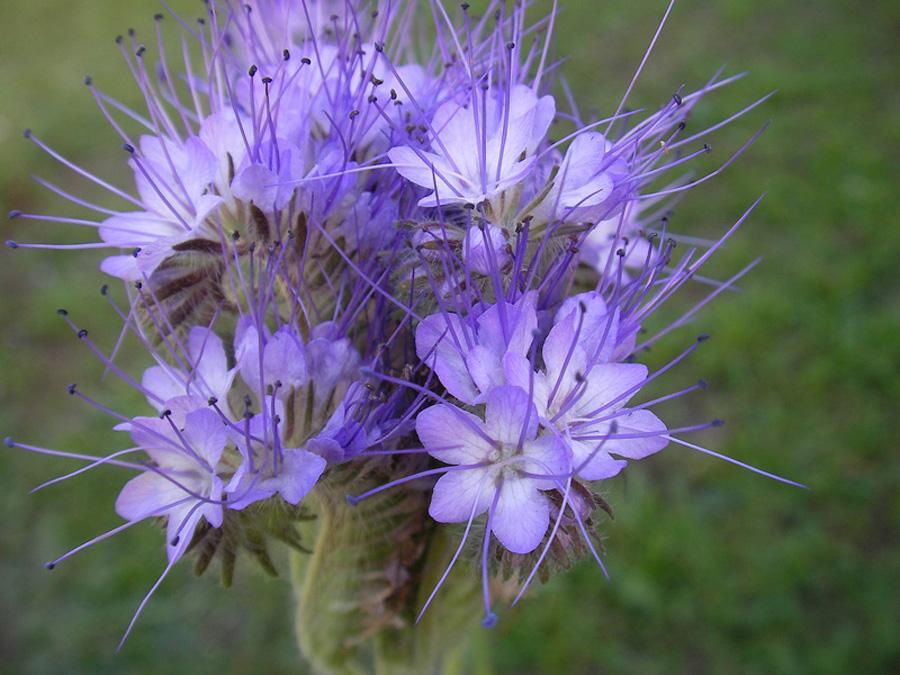 Мак пионовидный цветов