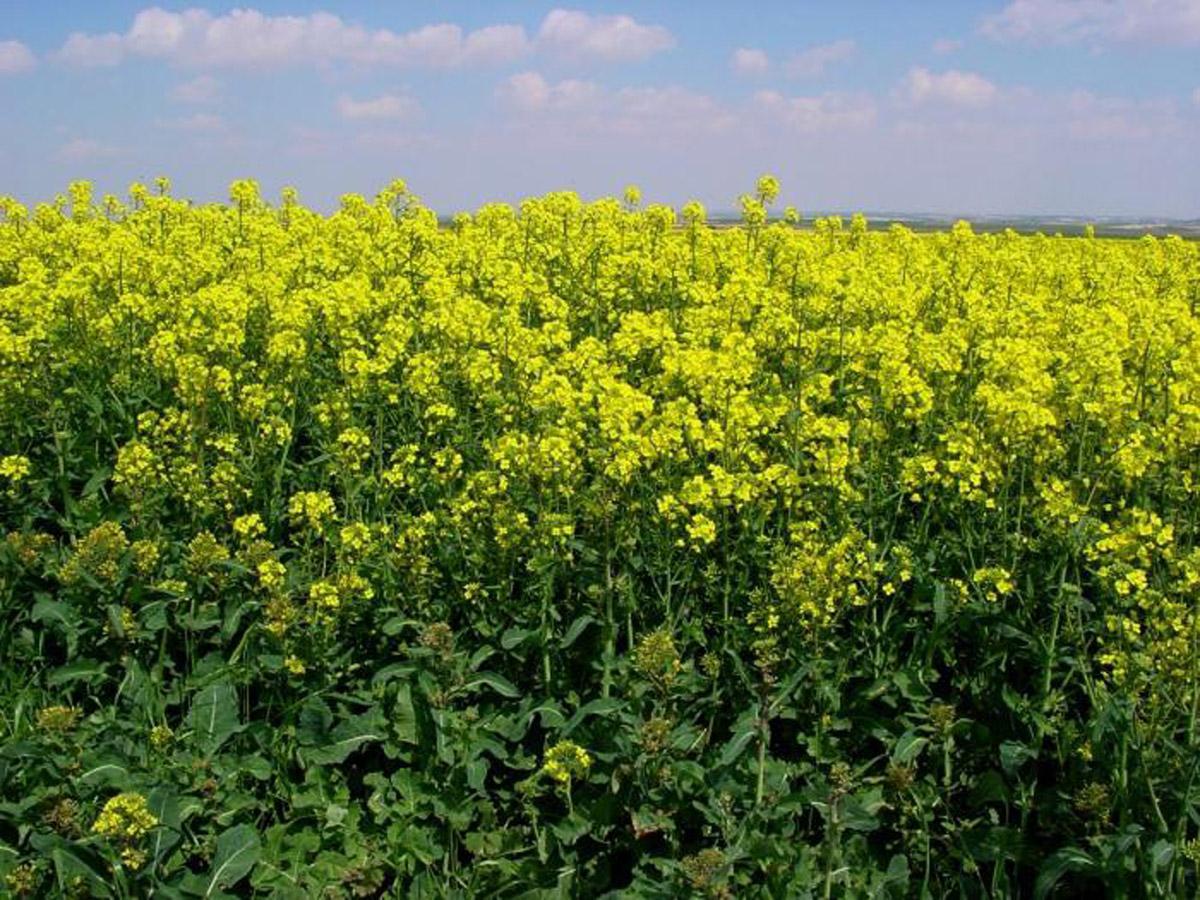 Выращивание ярового рапса в украине 98