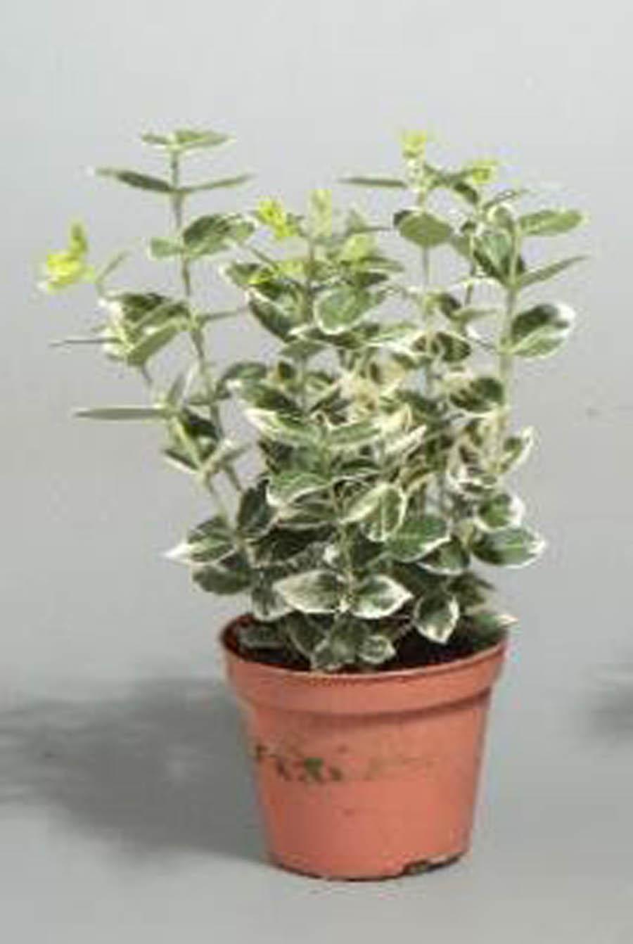 Бересклет японский цветок фото