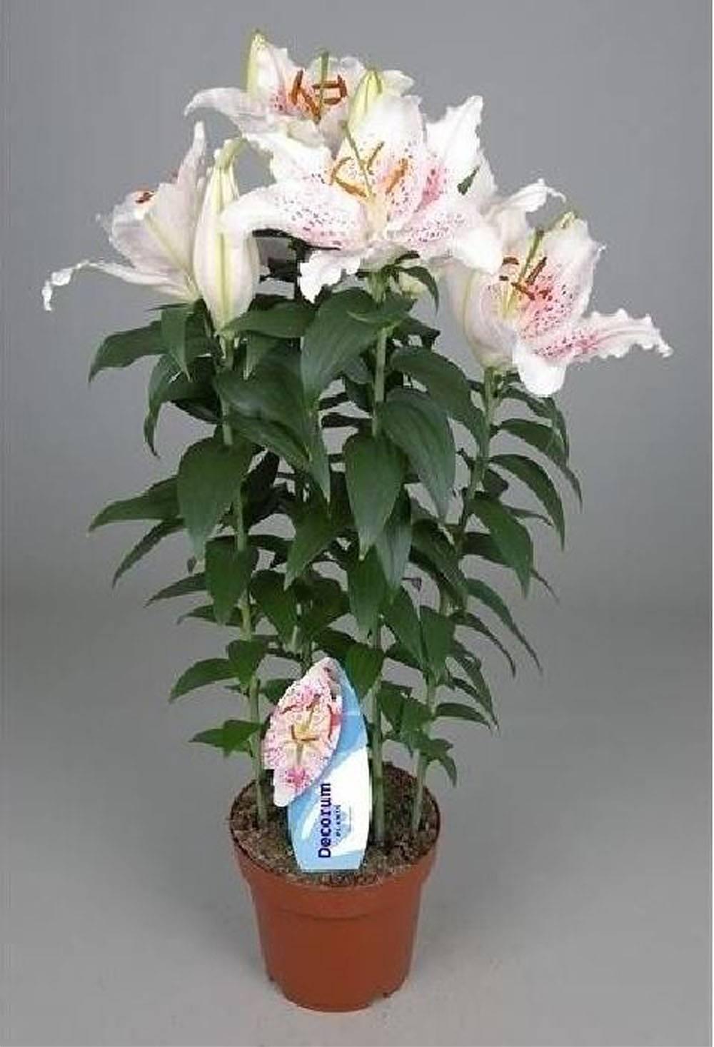 Комнатные цветы гузмания: уход в домашних условиях с фото 1