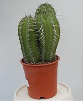 Полаския Чичипе - Polaskia chichipe cereus D9 H15