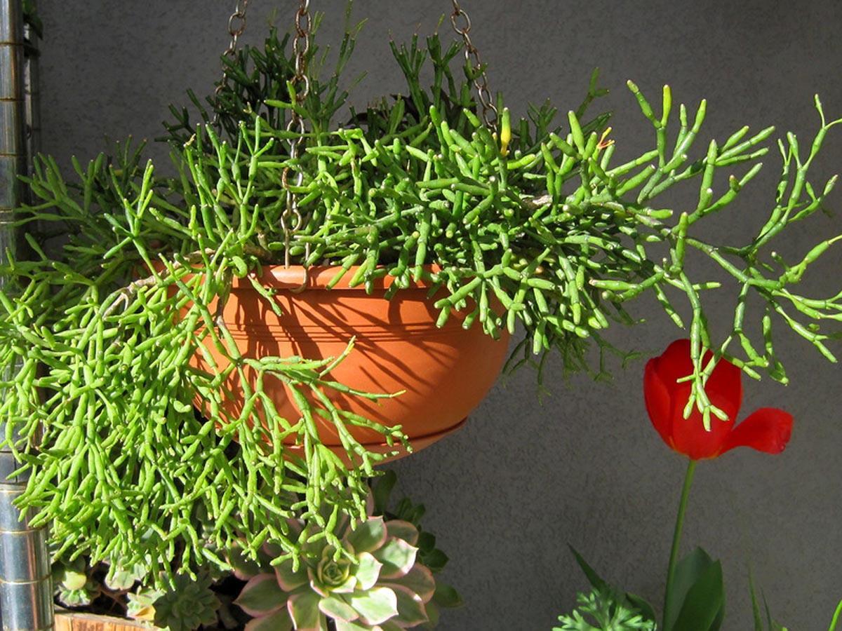 Брызги шампанского цветок уход в домашних условиях фото