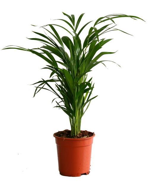 Пальма Хризалидокарпус D12 H55 купить в интернет-магазине Мандарин-шоп, уход в домашних условиях