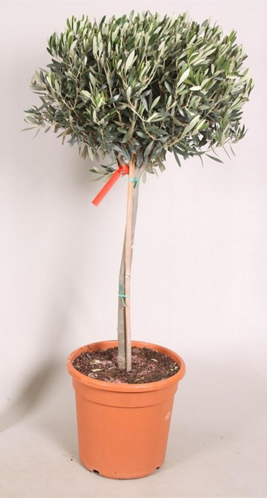 Выращивание оливкового дерева из веточки