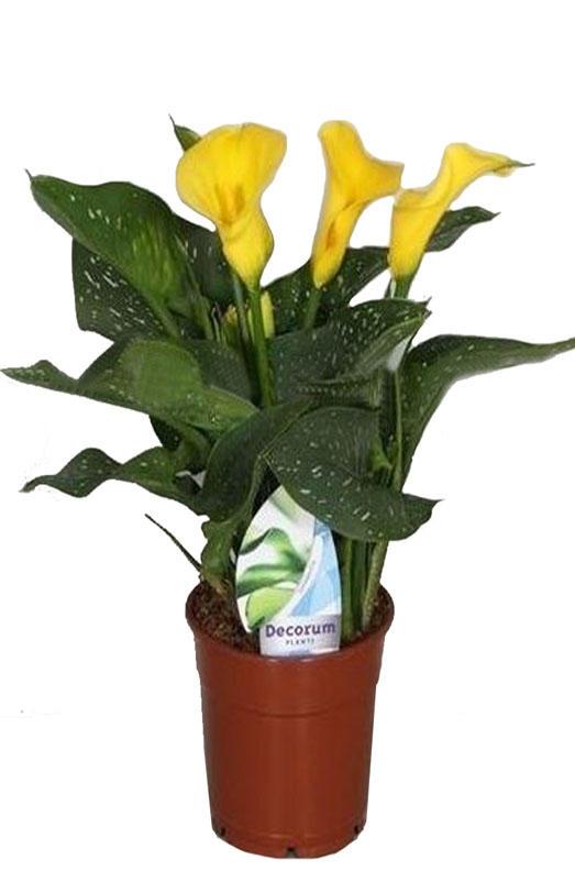 Купить цветы зантедехия в горшках в спб доставка цветов киев центр