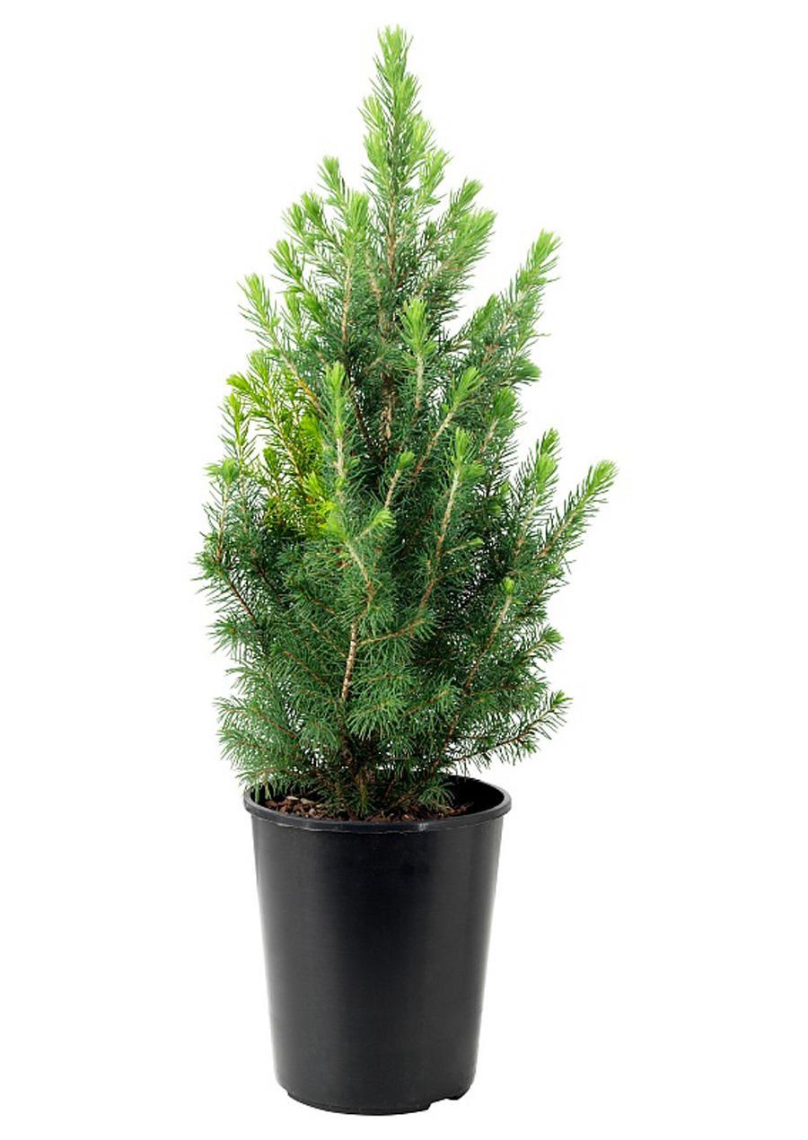 Ель сизая Picea glauca 'Daisy's White' D25 Р100 купить в интернет-магазине Мандарин