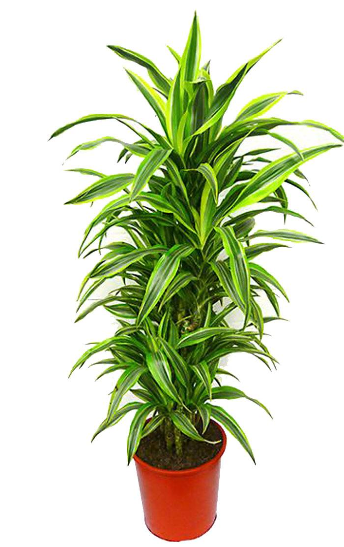Лемон Лайм куст - Dracaena fr. Lemon Lime D30 H140