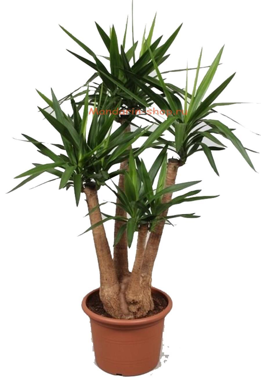 Домашние пальмы юкка уход в домашних условиях