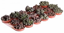 Литопс микс - Lithops spp mix D5 H10