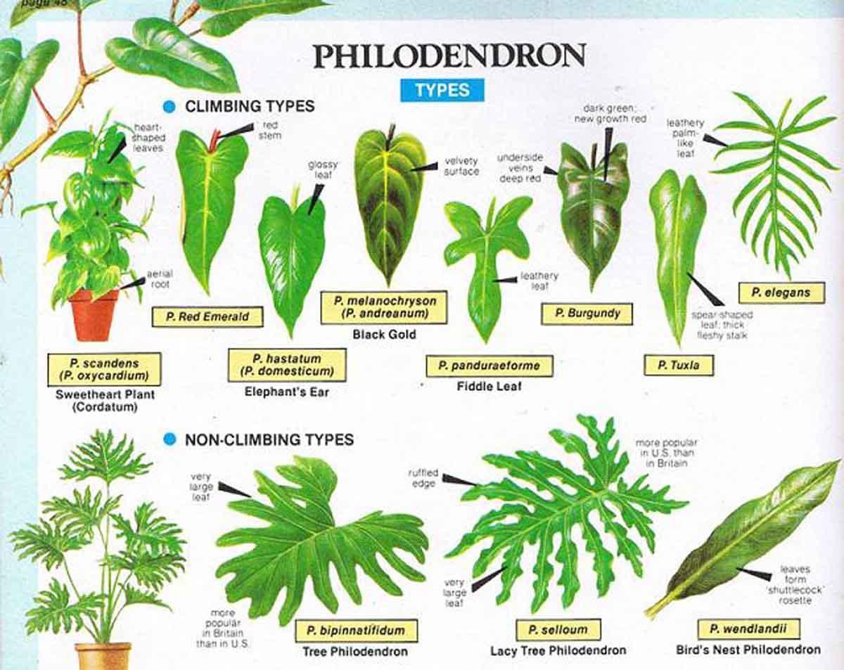 Explore the philodendron