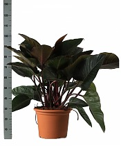 Филодендрон Конго Ред - Philodendron Congo Red D35 H120