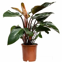 Филодендрон Конго Ред - Philodendron Congo Red D20 H100