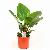 Филодендрон Грин Империал -Philodendron Imperial Green  D12 H25