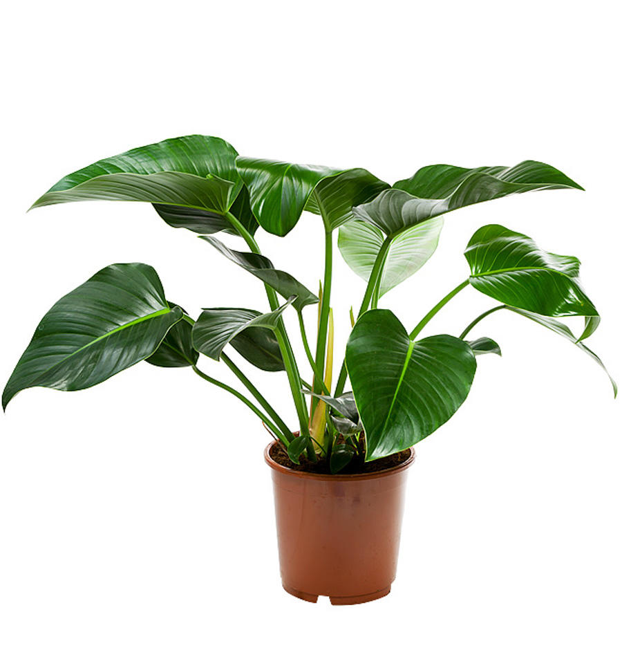 Growing indoor philodendrons - gosouth