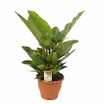 Филодендрон Грин Империал - Philodendron Imperial Green D30 H70
