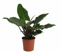 Филодендрон Грин Империал - Philodendron Imperial Green D28 H35