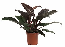 Филодендрон Ред Империал - Philodendron Imperial Red  D20 H55