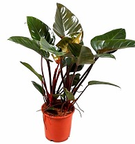 Филодендрон Ред Империал - Philodendron Imperial Red D24 H80