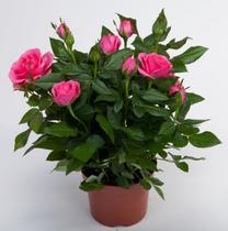 Домашние розы с петербург купить красноярск купить розы