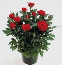 Розы в горшочках купить в спб комнатные цветы-фиалка купить