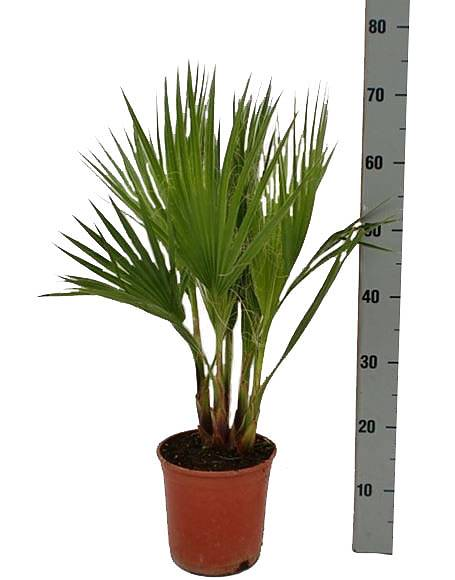 Вашингтония робуста (мощная) - Washingtonia robusta D12 H50