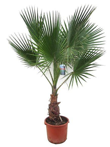 Вашингтония робуста (мощная) - Washingtonia robusta D25 H145