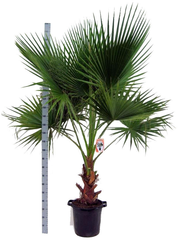 Вашингтония робуста (мощная) - Washingtonia robusta D45 H200