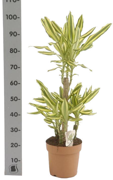 Елоу Кост - Dracaena fr. Yellow Coast D21 H100