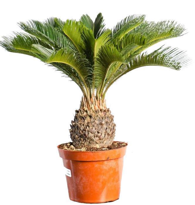 Финиковая пальма уход в домашних условиях