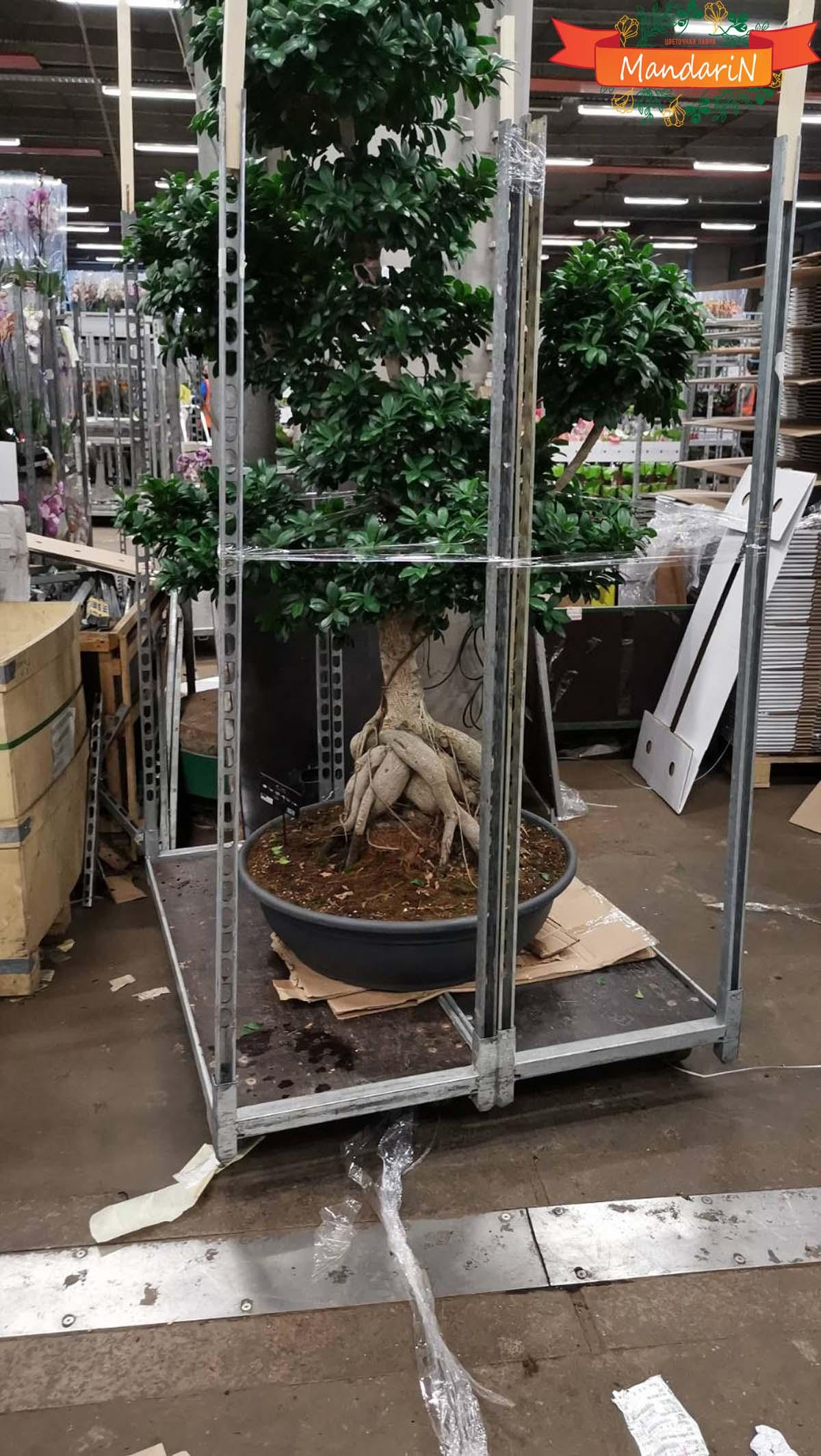 Bonsai Ficus microcarpa D82 H200