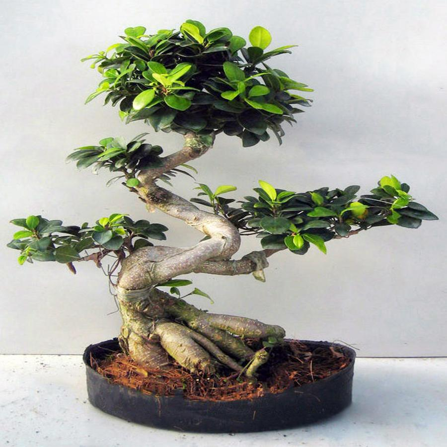 Bonsai Ficus microcarpa в керамике