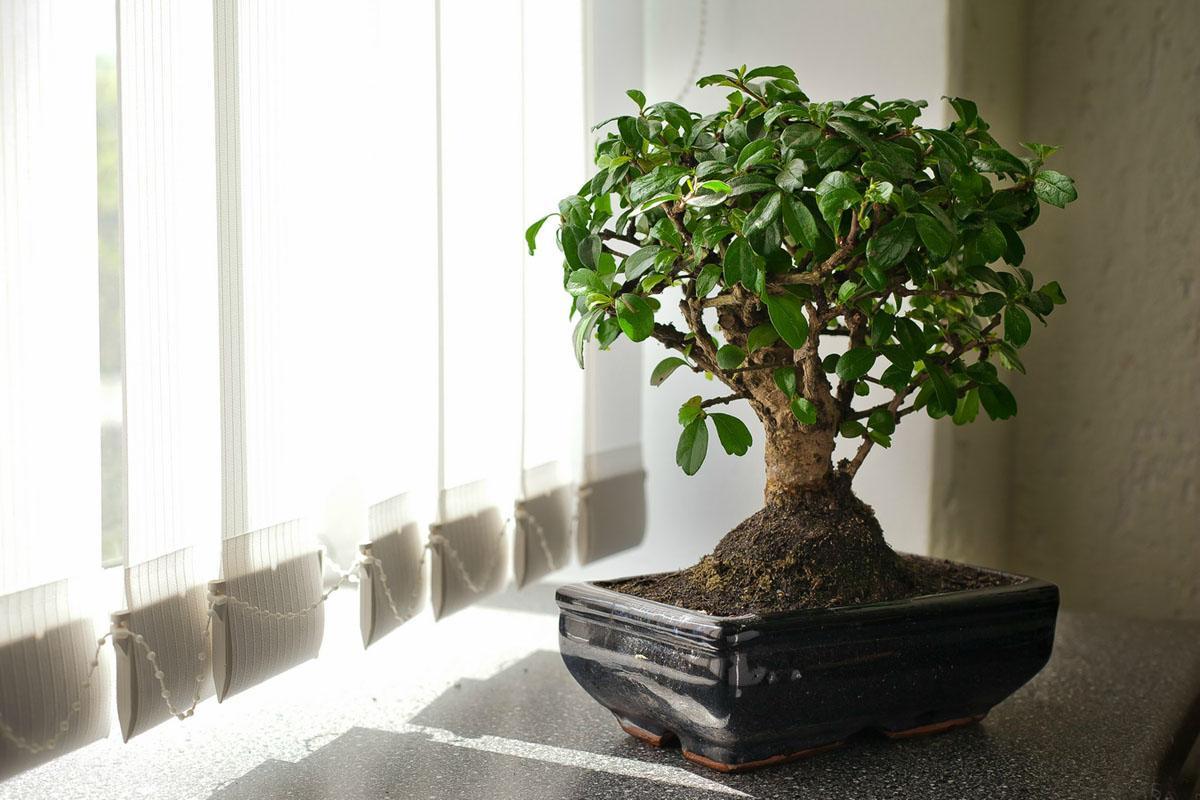 предприятие торговли цветок бонсай фото используется для