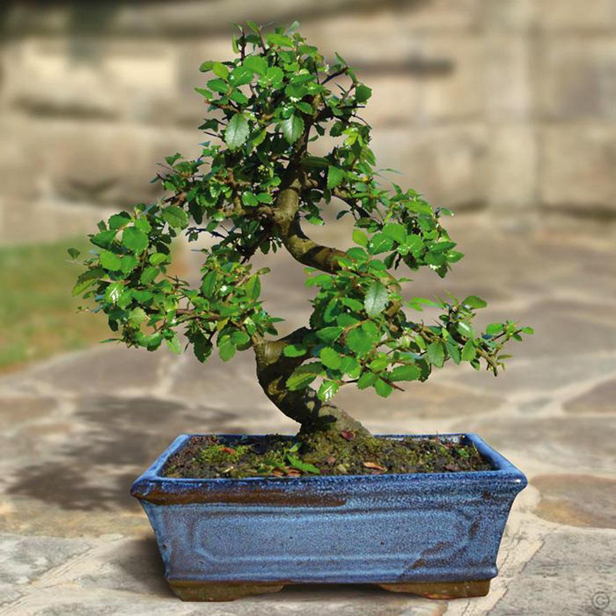 картинки бонсай микс дерево классические исполнители